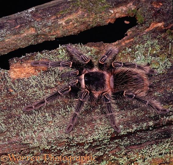 Giant spider eating bird - photo#16