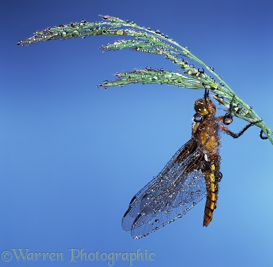 Broad-bodied Chaser Dragonfly (Libellula depressa) after rain.  Europe including Britain