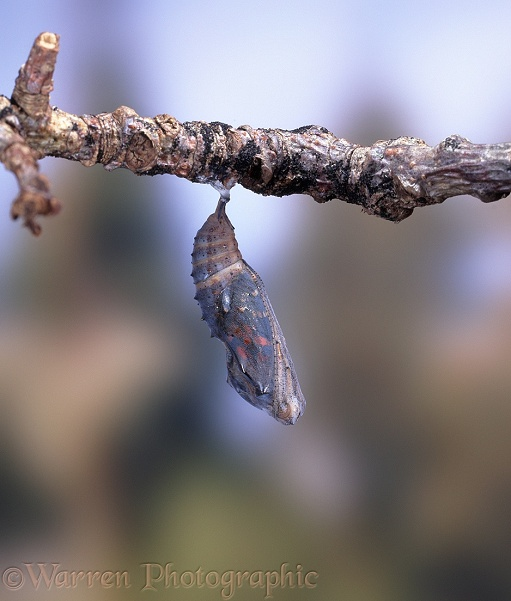 Painted Lady Butterfly (Cynthia cardui) pupa starting to hatch - No.1 of series