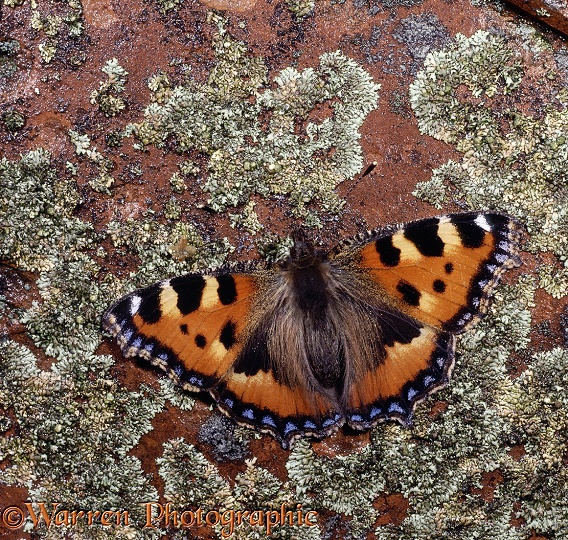 Small Tortoiseshell (Aglais urticae) on a lichen-covered tile