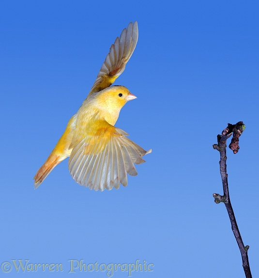 Canary (Serinus canarius) coming in to land