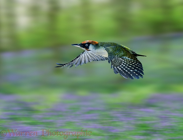 Green Woodpecker (Picus viridis) male in flight.  Europe