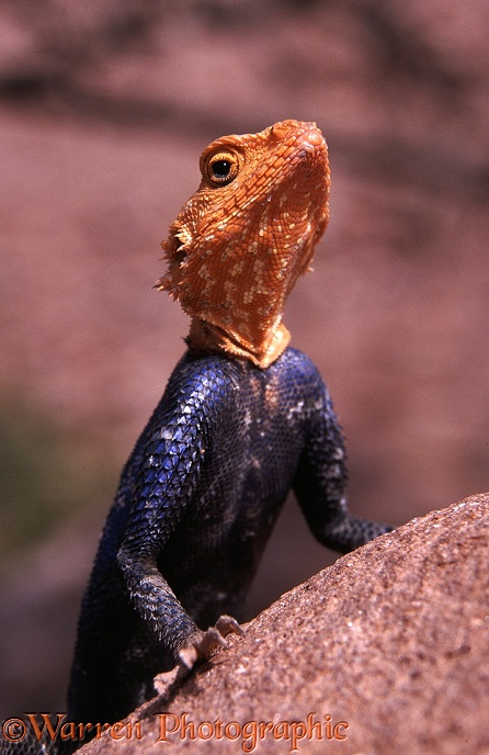 Namibian Rock Agama (Agama planiceps) fully coloured male surveying his territory.  S.W. Africa