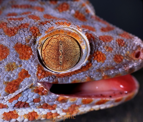 Tokay Gecko (Gekko gecko) eye with pupil closed in bright light.  S.E. Asia
