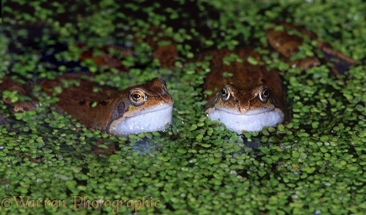 Common Frog (Rana temporaria) males croaking in duckweed-covered pond.  Europe