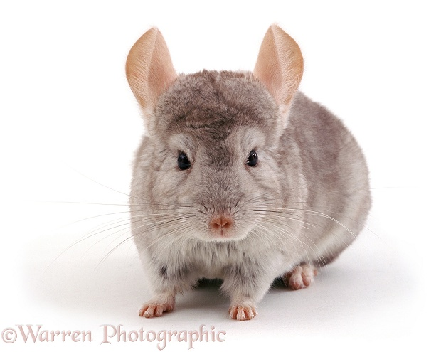 Chinchilla (Chinchilla lanigera), white background