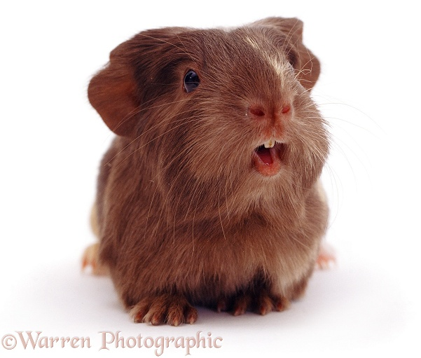 Baby Guinea pig squeaking, white background