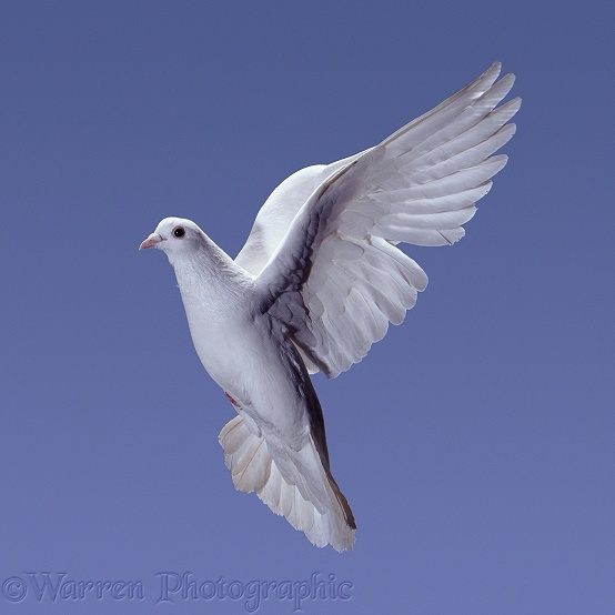 White Feral Pigeon (Columba livia) in flight. Series of 7 No 2