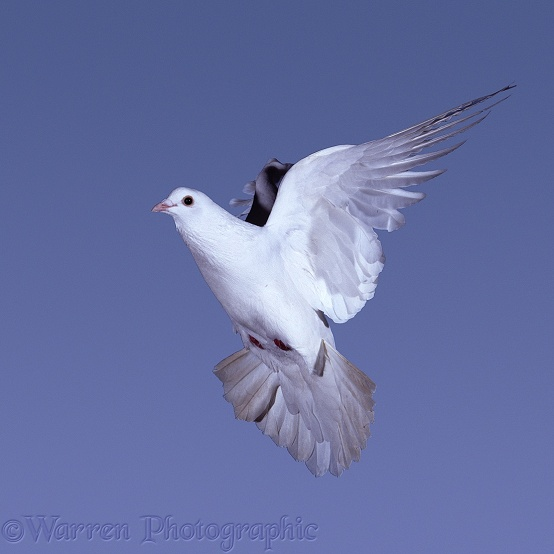 White Feral Pigeon (Columba livia) in flight. Series of 7 No 7