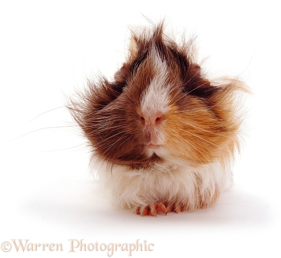 Guinea pig, white background