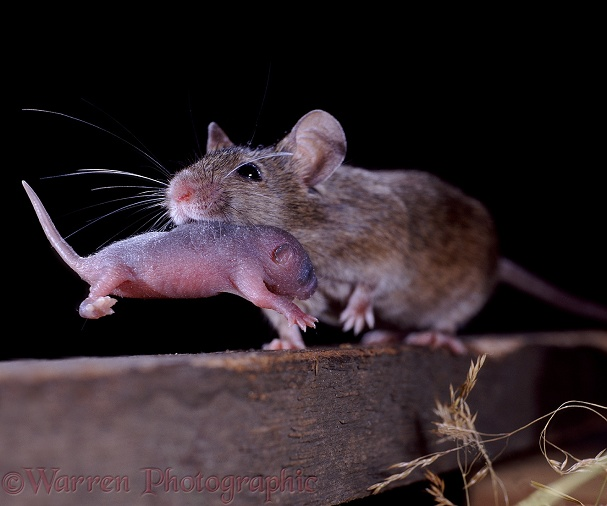 House Mouse (Mus musculus) mother carrying 3-day old baby