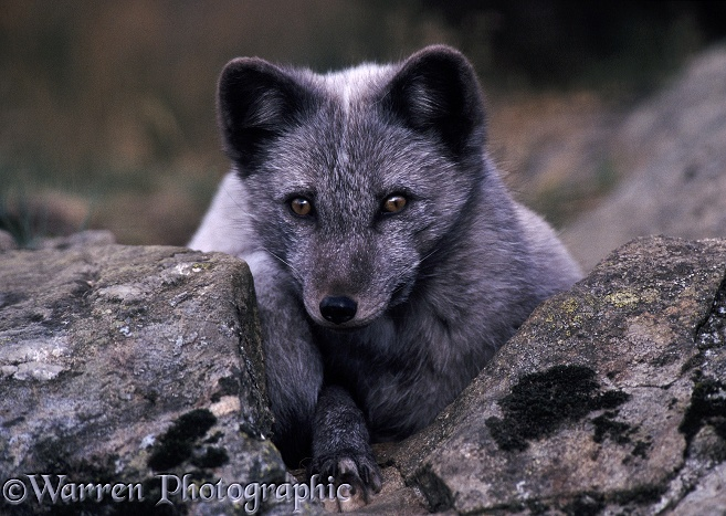 Arctic Fox (Alopex lagopus) in summer coat.  Arctic