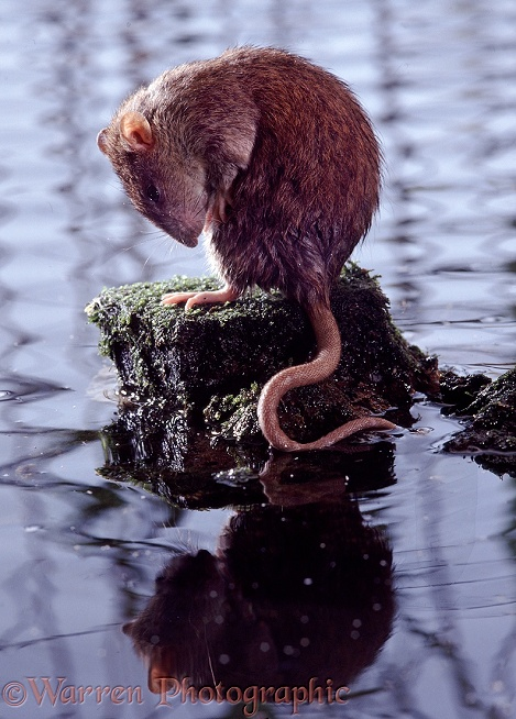 Brown Rat (Rattus norvegicus) grooming after a dip in a pond.  Worldwide