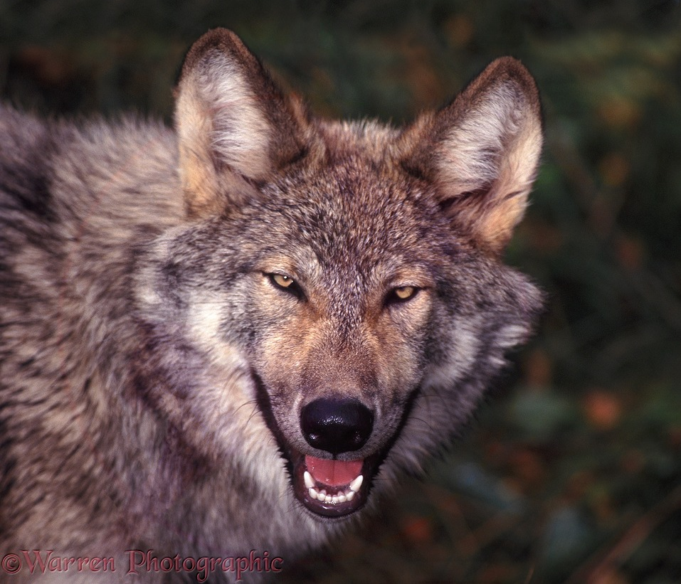 Grey Wolf (Canis lupus), portrait.  Europe, Asia and N. America