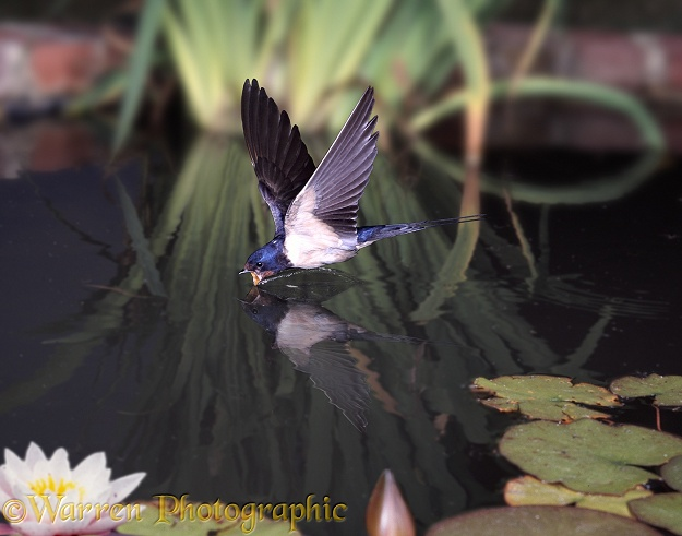 Barn Swallow (Hirundo rustica) drinking on the wing form a lily pond