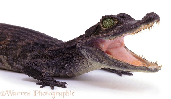Nile Crocodile (Crocodylus niloticus) juvenile.  Africa, white background