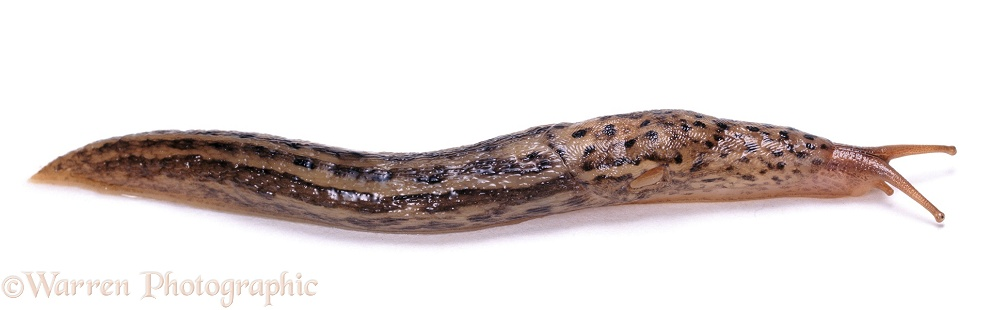 Great Grey Slug (Limax maximus)