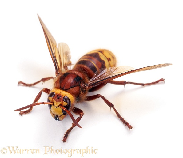 Hornet (Vespa crabro) worker, white background