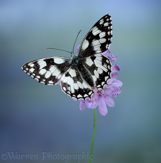 Marbled White Butterfly (Melanargia galathea) on Field Scabious