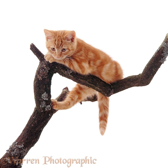 Ginger kitten looking down from a high branch, white background