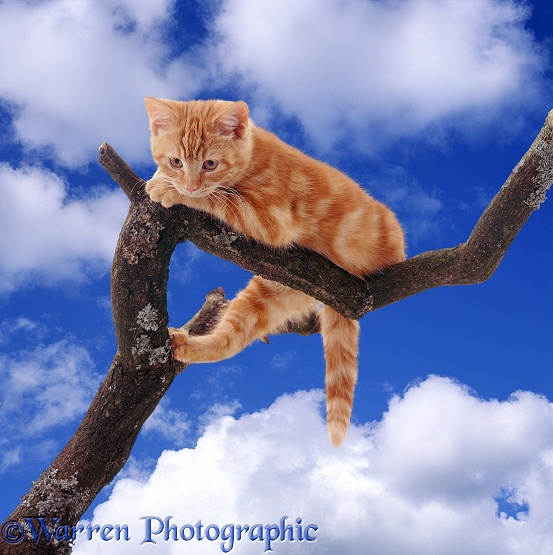 Ginger kitten looking down from a high branch