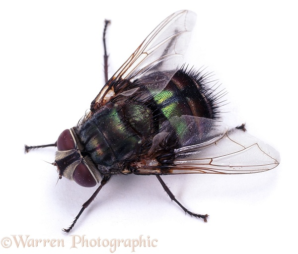 Giant Greenbottle Fly (unidentified).  Australia, white background