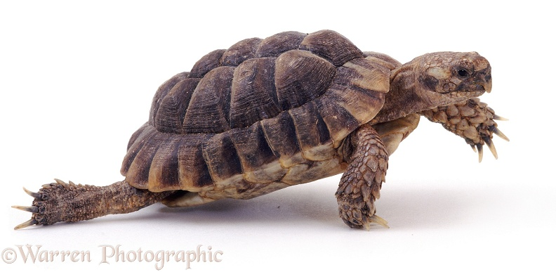 Spur-thighed Tortoise (Testudo graeca), stepping out, white background