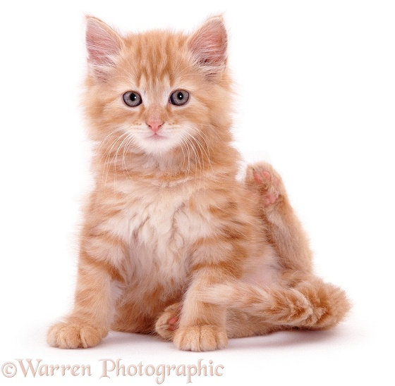 Fluffy ginger kitten Crusoe Robinson has been scratching his neck, white background