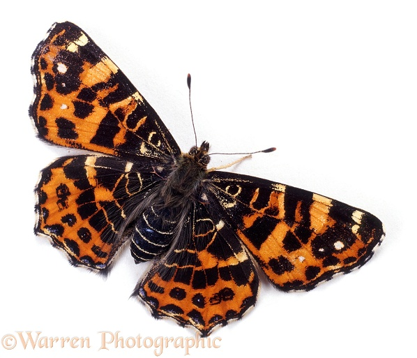 European Map Butterfly (Araschnia levana) spring colour form, white background