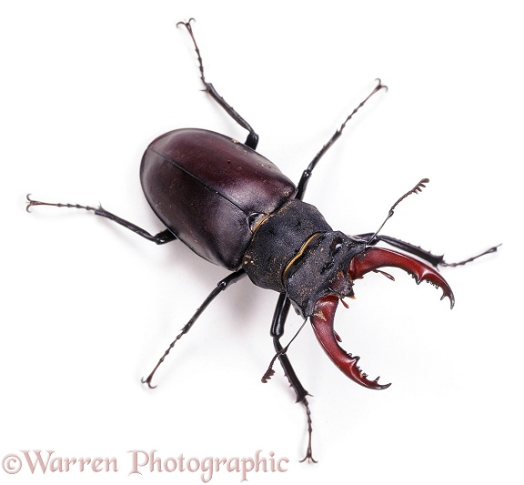 Stag Beetle (Lucanus cervus) male. Europe, white background