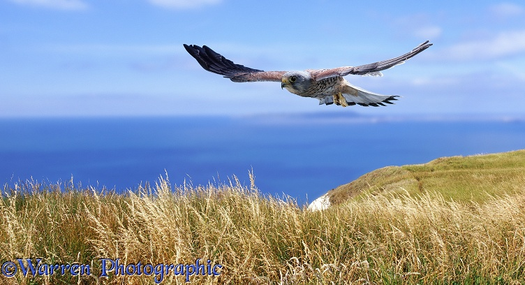 Kestrel (Falco tinnunculus) male flying over sea cliffs.  Europe, Africa