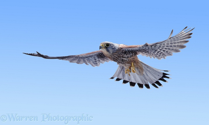 Kestrel (Falco tinnunculus) male in flight.  Europe, Africa