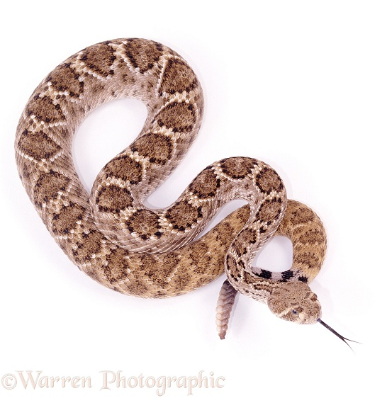 Western Diamondback Rattlesnake (Crotalus atrox) showing tongue and rattle, white background