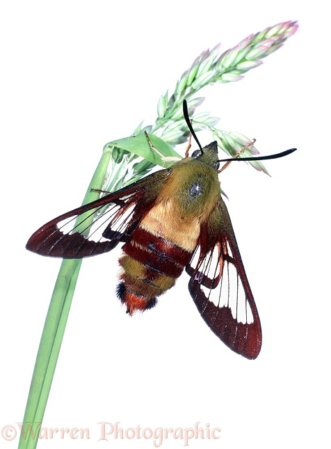 Hummingbird Sphinx Moth (Hemaris thysbe) newly emerged.  N America, white background