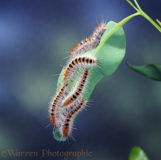 Processionary Moth (Ochrogaster contraria) caterpillars.  NW Australia