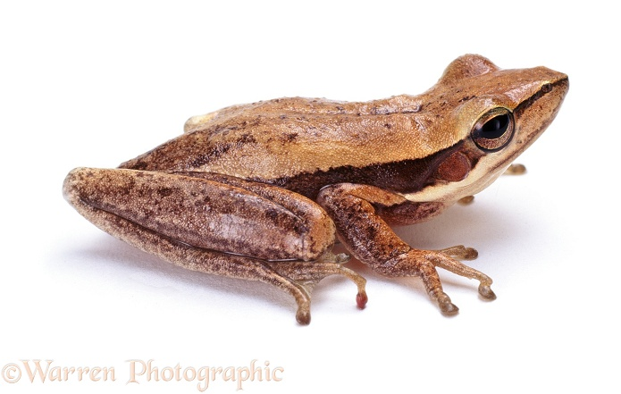 Slender Tree Frog (Litoria adelaidensis), white background