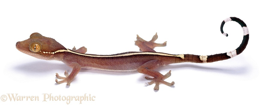 Gecko (Gekko vittatus) raising the tips of its toes in readiness to run, white background