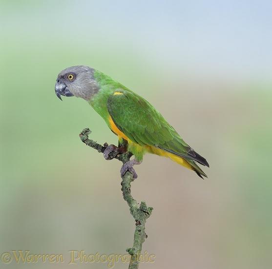 WP06820 Senegal Parrot ( Poicephalus senegalus ). West Africa .