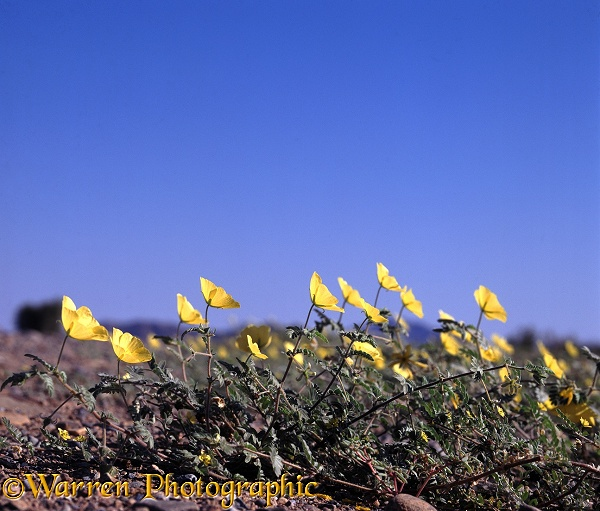 Devil's Thorn (Tribulus zeyheri) facing east to gather warmth from the rising sun.  Africa