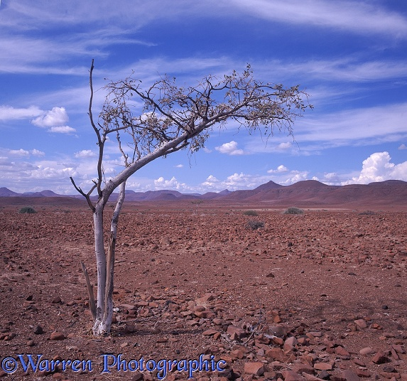 Lone tree in Damaraland