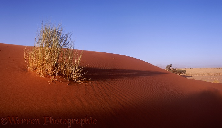 Grass plant on a sand dune.  Namibia
