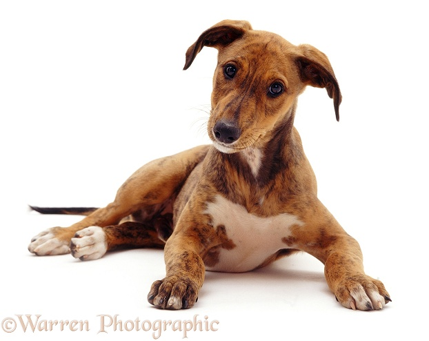 Brindle Lurcher pup Bryn, 10 weeks old, white background