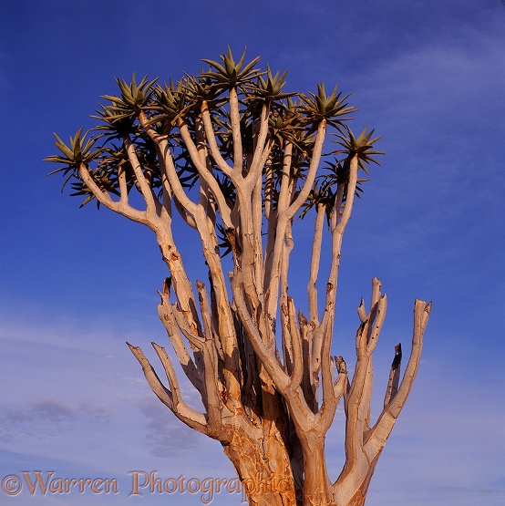 Quiver Tree (Aloe dichotoma).  Southern Africa