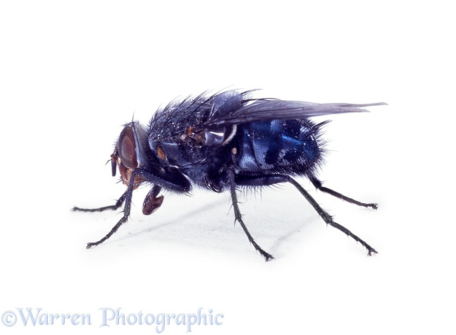 Bluebottle Fly (Calliphora vomitoria).  Worldwide, white background