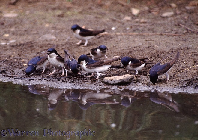 House Martins (Delichon urbica) collecting mud beside a pond to build their nests.  Europe, Africa