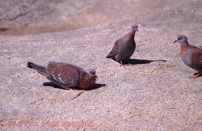 Rock Pigeon (Columba guinea) male displaying to females.  Africa