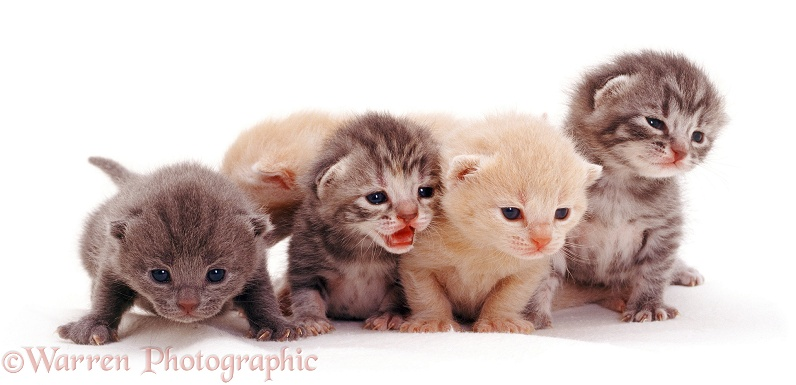 Four kittens, 2 weeks old, white background