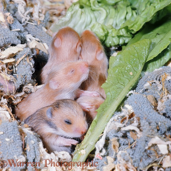 Golden Hamster (Mesocricetus auratus) babies, 15 days old, eyes opening