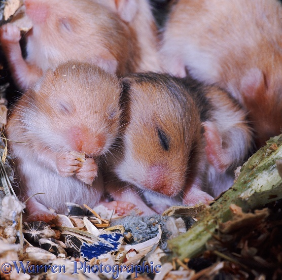 Golden Hamster (Mesocricetus auratus) young, 12 days old, in the nest eating solid food before their eyes have opened
