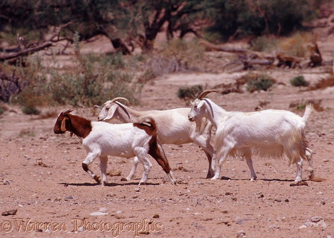10 >> Goats photo WP06972
